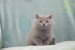 Koty Brytytskie Niebieskie Beatrice Niebieskie Misie (18)