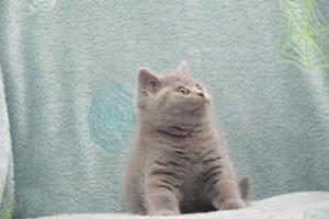 Koty Brytytskie Niebieskie Beatrice Niebieskie Misie (19)
