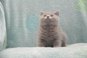 Koty Brytytskie Niebieskie Beatrice Niebieskie Misie (2)