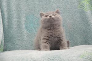 Koty Brytytskie Niebieskie Beatrice Niebieskie Misie (20)