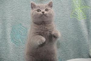 Koty Brytytskie Niebieskie Beatrice Niebieskie Misie (24)