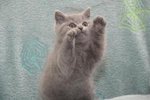 Koty Brytytskie Niebieskie Beatrice Niebieskie Misie (25)