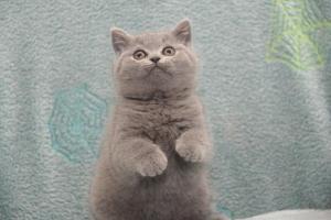 Koty Brytytskie Niebieskie Beatrice Niebieskie Misie (26)
