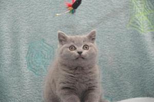 Koty Brytytskie Niebieskie Beatrice Niebieskie Misie (27)