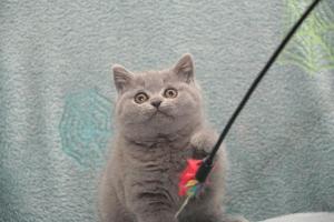 Koty Brytytskie Niebieskie Beatrice Niebieskie Misie (28)