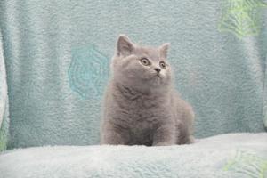 Koty Brytytskie Niebieskie Beatrice Niebieskie Misie (3)