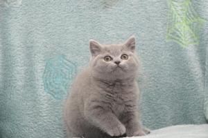 Koty Brytytskie Niebieskie Beatrice Niebieskie Misie (30)
