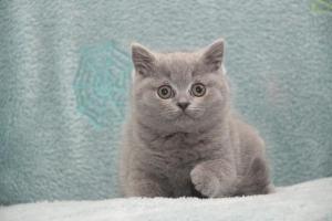 Koty Brytytskie Niebieskie Beatrice Niebieskie Misie (4)