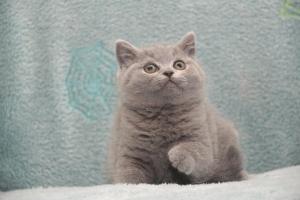 Koty Brytytskie Niebieskie Beatrice Niebieskie Misie (5)