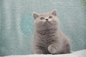 Koty Brytytskie Niebieskie Beatrice Niebieskie Misie (7)