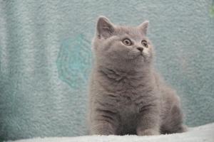 Koty Brytytskie Niebieskie Beatrice Niebieskie Misie (8)