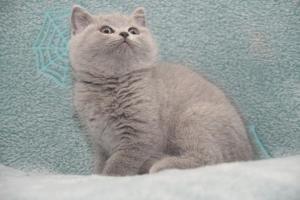Koty Brytyjskie Niebieskie-Bogna (11)