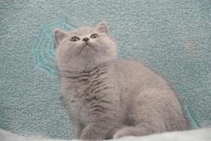 Koty Brytyjskie Niebieskie-Bogna (12)