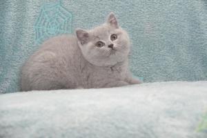Koty Brytyjskie Niebieskie-Bogna (16)