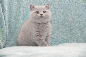 Koty Brytyjskie Niebieskie-Bogna (17)