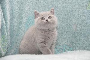 Koty Brytyjskie Niebieskie-Bogna (18)