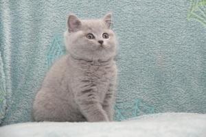 Koty Brytyjskie Niebieskie-Bogna (19)