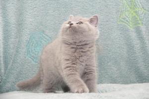 Koty Brytyjskie Niebieskie-Bogna (21)