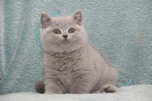 Koty Brytyjskie Niebieskie-Bogna (24)