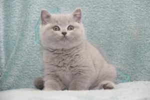 Koty Brytyjskie Niebieskie-Bogna (25)