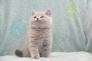 Koty Brytyjskie Niebieskie-Bogna (29)