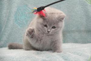 Koty Brytyjskie Niebieskie-Bogna (31)