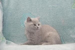 Koty Brytyjskie Niebieskie-Bogna (4)