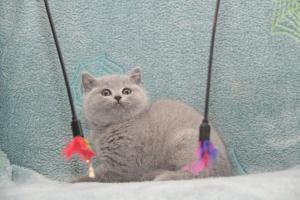 Koty Brytyjskie Niebieskie-Bogna (9)