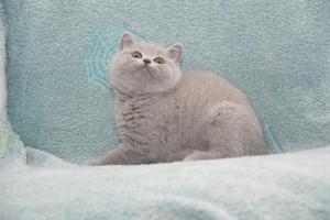 Koty Brytyjskie Niebieskie-Bogna (1)
