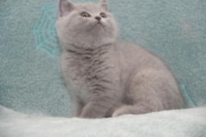 Koty Brytyjskie Niebieskie-Bogna (10)