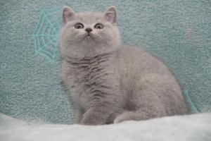 Koty Brytyjskie Niebieskie-Bogna (13)