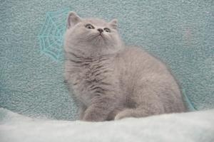 Koty Brytyjskie Niebieskie-Bogna (15)
