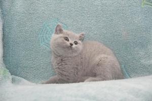 Koty Brytyjskie Niebieskie-Bogna (2)