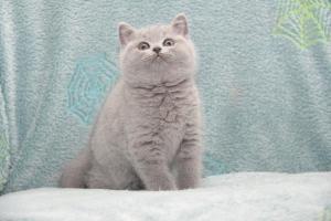 Koty Brytyjskie Niebieskie-Bogna (20)