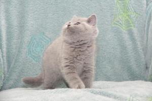 Koty Brytyjskie Niebieskie-Bogna (22)