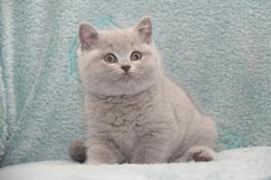 Koty Brytyjskie Niebieskie-Bogna (23)