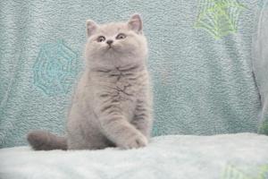 Koty Brytyjskie Niebieskie-Bogna (26)