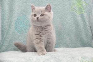 Koty Brytyjskie Niebieskie-Bogna (27)