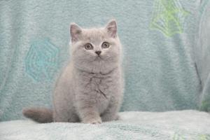 Koty Brytyjskie Niebieskie-Bogna (28)