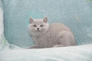 Koty Brytyjskie Niebieskie-Bogna (3)