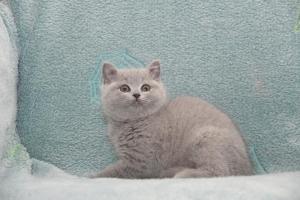 Koty Brytyjskie Niebieskie-Bogna (5)