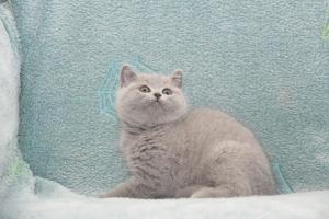 Koty Brytyjskie Niebieskie-Bogna (6)