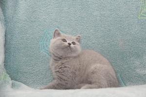 Koty Brytyjskie Niebieskie-Bogna (7)