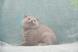 Koty Brytyjskie Niebieskie-Bogna (8)