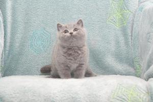 Koty Brytyjskie Niebieskie Buźka Niebieskie Misie (1)
