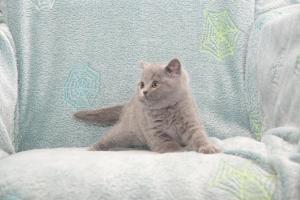 Koty Brytyjskie Niebieskie Buźka Niebieskie Misie (10)