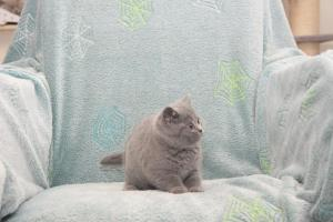 Koty Brytyjskie Niebieskie Buźka Niebieskie Misie (12)