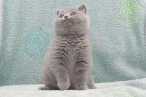 Koty Brytyjskie Niebieskie Buźka Niebieskie Misie (13)