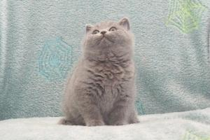 Koty Brytyjskie Niebieskie Buźka Niebieskie Misie (14)