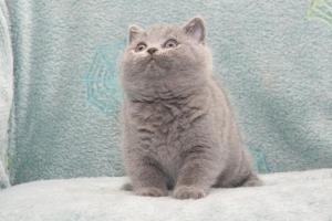 Koty Brytyjskie Niebieskie Buźka Niebieskie Misie (15)
